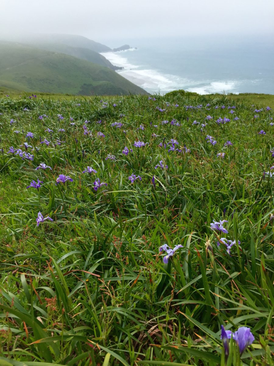 Point Reyes Irises